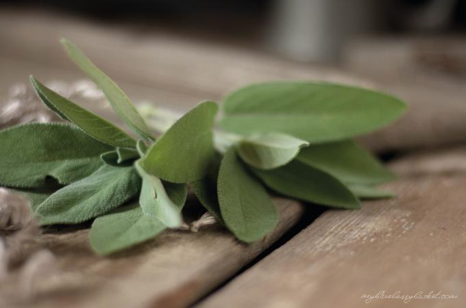 photo sage leaves